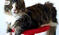 נפלאות חתולים - מיין קון | חיות מחמד יד2 XU-95