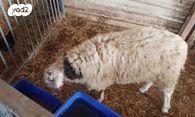 מצטיין חיות משק - כבשים | חיות מחמד יד2 JF-06