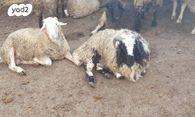 מצטיין חיות משק - כבשים | חיות מחמד יד2 AK-61