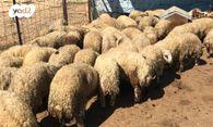 למעלה חיות משק - כבשים | חיות מחמד יד2 TV-75