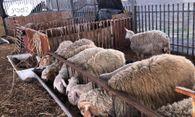 מודיעין חיות משק - כבשים | חיות מחמד יד2 JK-98