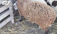 בנפט חיות משק - כבשים | חיות מחמד יד2 YU-39